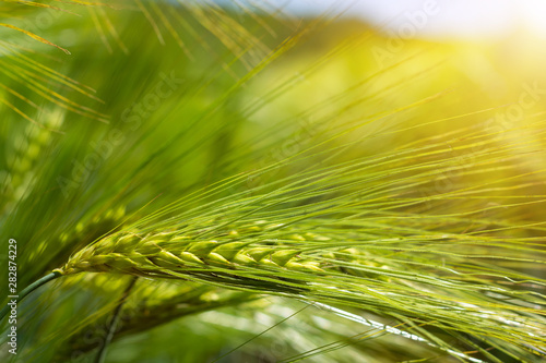Stampa su Tela spikelets of green brewing barley in a field.