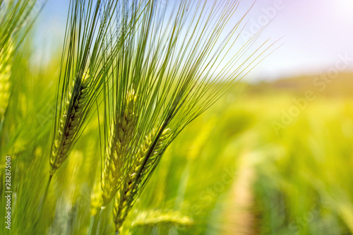 spikelets of green brewing barley in a field. Poster Mural XXL