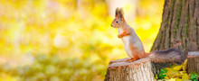 Cute Squirrel Sitting On Stump Among The Many Fallen Yellow Maple Leaves In The Autumn Park Elagin Island In St Petersburg. Beautiful Autumn Panoramic Background