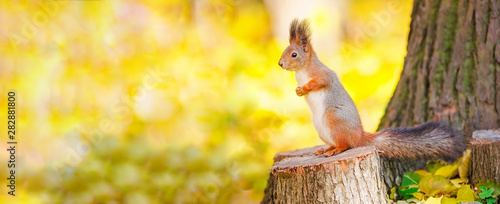 Fotobehang Eekhoorn Cute squirrel sitting on stump among the many fallen yellow maple leaves in the autumn park Elagin Island in St Petersburg. Beautiful autumn panoramic background