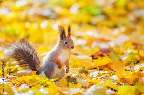 Fotobehang Eekhoorn Portrait of cute squirrel sitting on the ground among the many fallen yellow maple leaves in the autumn park in St Petersburg. Beautiful autumn background