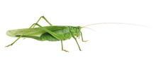 Great Green Bush-cricket, Tettigonia Viridissima, Isolated On White