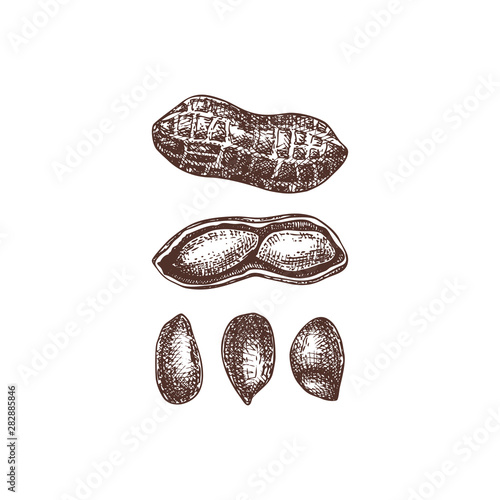 Peanut vector illustrations Canvas Print