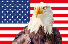 Bald Eagle (Haliaeetus Leucoce...
