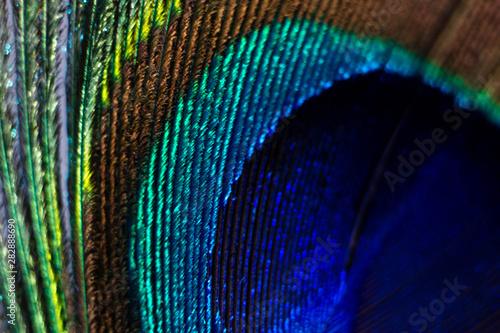 Foto op Aluminium Pauw Peacock feather macro