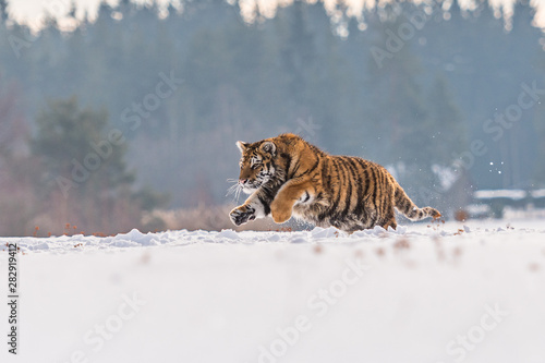 In de dag Tijger Siberian Tiger running in snow. Beautiful, dynamic and powerful photo of this majestic animal. Set in environment typical for this amazing animal. Birches and meadows