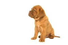 Cute Dogue De Bordeaux Puppy S...