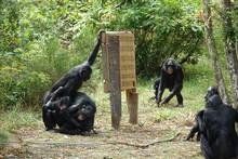 Groupe De Bonobos Autour D'un ...
