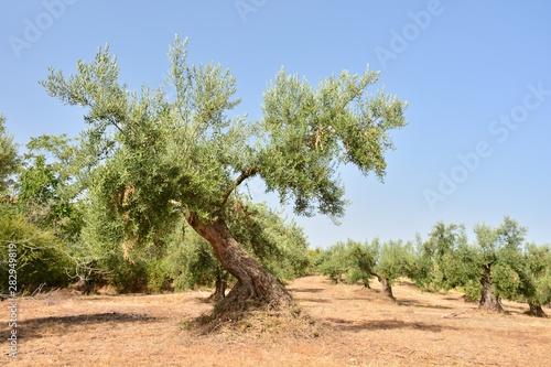 Photo Olivos en un olivar de un campo de Andalucía, España