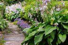 Hosta Plant In Garden. Beautiful Blooming Hosts In The Garden. Hostа Plant For The Shady Garden. Green Hostа In The Park.