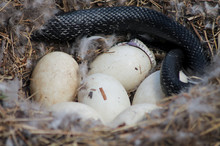 Snake Eating Eggs