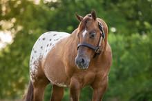 Appaloosa Stallion
