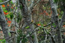Little Red-bellied Woodpecker ...