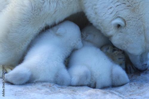 Foto op Canvas Schapen Polar bear family on white snow background.