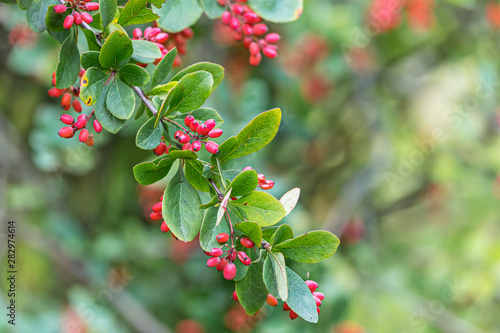 barberry tree branch with red berries and green leaves Canvas Print