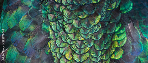 Paon Beautiful colors and patterns of peacock feathers