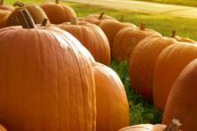 Pumpkin Farm Market.Thanksgiving.A Row Of Pumpkins In Dewdrops On Green Grass In The Bright Rays Of The Sun.Harvest Pumpkin.Autumn Vegetables Market.Fall Season