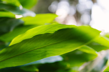 Tropical Green Hawaiian Ti Plant Leaves Close Up With Background Blur
