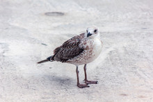 Seagull Looking At The Camera