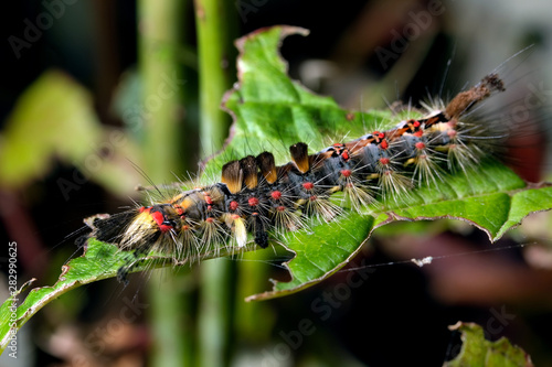 Αφίσα Vapourer or rusty tussock moth caterpillar on plant.