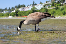 Close Up Shot Of Canada Goose Foraging For Food In Low Tide At White Rock Beach, In White Rock BC, Canada.
