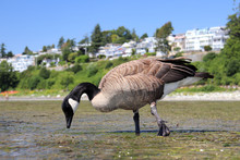 Close Up Shot Of Canada Goose At White Rock Beach In Low Tide, In White Rock BC, Canada.