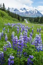 Purple Lupin Blooming In Sprin...
