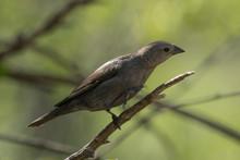 Brown Headed Cowbird In Pennslyvania