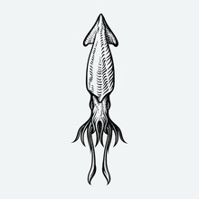 Vector Vintage Squid Drawing. Hand Drawn Monochrome Seafood Illustration. Great For Menu, Poster Or Label.