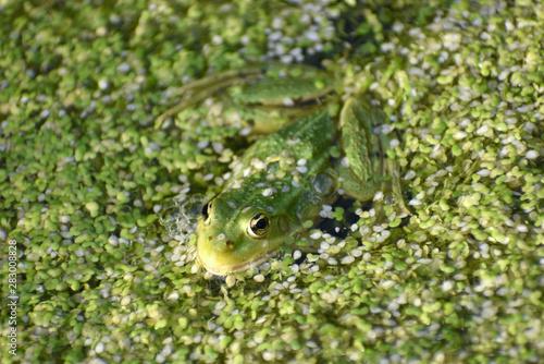 Photo grenouille camouflée