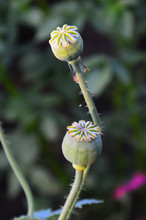 Box-the Fruit Of The Purple Poppy (lat. Papaver) On A Green Background. Vertical Photo.
