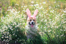 Happy Puppy Dog Red Corgi In Festive Easter Pink Rabbit Ears On Meadow Lies In White Chamomile Flowers On A Sunny Clear Day