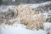 Tall Grass Covered By Fresh Wh...