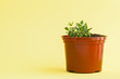 succulent plant on a yellow background.