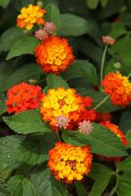 Fleurs De Lantana Orange Et Ja...