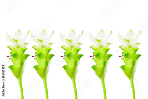 Wall Murals Lily of the valley Curcuma sessilis Gage or (ZINGIBERACEAE) isolated white background
