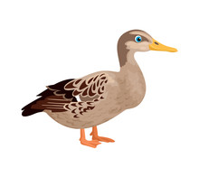 Duck Isolated On A White Background. Vector Illustration Of A Farm Bird In Cartoon Simple Flat Style.