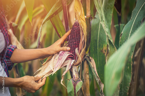 Corn in hand, natural background, Fresh corn on corn - 283033809