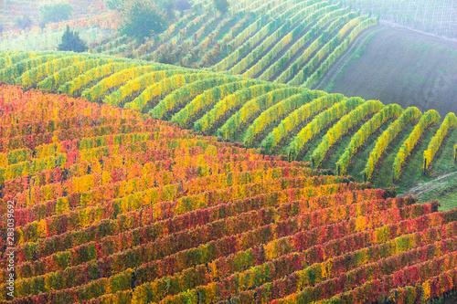 Autumn landscape. Golden vineyards of Piemonte. famous vine region of Italy