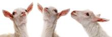 Funny White Goats - Portraits