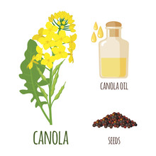 Canola Flowers With Pod And Se...