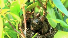 Female Cardinal Bird Appears On Her Birds Nest To Feed Her Baby Chicks That Are Inside And Hungry.