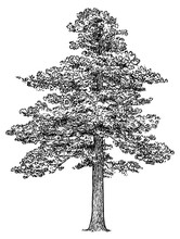 Scots Pine Tree Illustration, Drawing, Engraving, Ink, Line Art, Vector