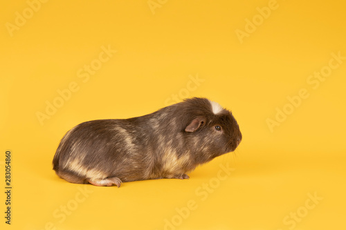 Fotomural  Brown and yellow adult guinea pig seen from the side in a yellow background