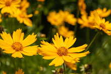 Bright Yellow Flower Of Spearmint Coreopsis Coreopsis Lanceolata. Close-up Of Coreopsis Lanceolate Blooms In Mid-summer. Tula Region, Russia