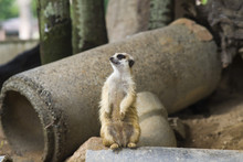 Meerkat On A Log