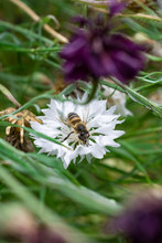 Wasp Lands And Pollenates White Wild Flower Among Tall Grass In Summer
