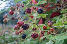 Blackberries Ripening In The W...