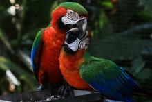 Bright Parrots In The Rain Forest, Iguazu Falls