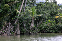 Magic Forest In The Indiana River, Dominica Island